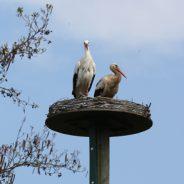 Storchenpaar ist neue Attraktion in der Aue